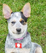 B. Kraynik: Misty, a 5 month old Australian Cattle Dog (2003)
